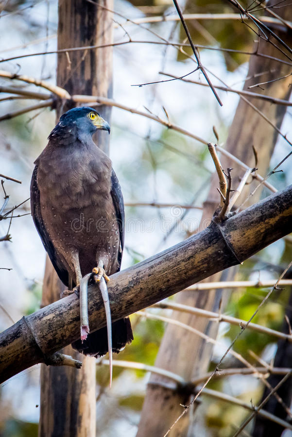 Serpent eagle with a serpent. Canon 6D 450mm ISO 800 1/400 f5.6 Serpent eagle seen with a snake in its claws royalty free stock images