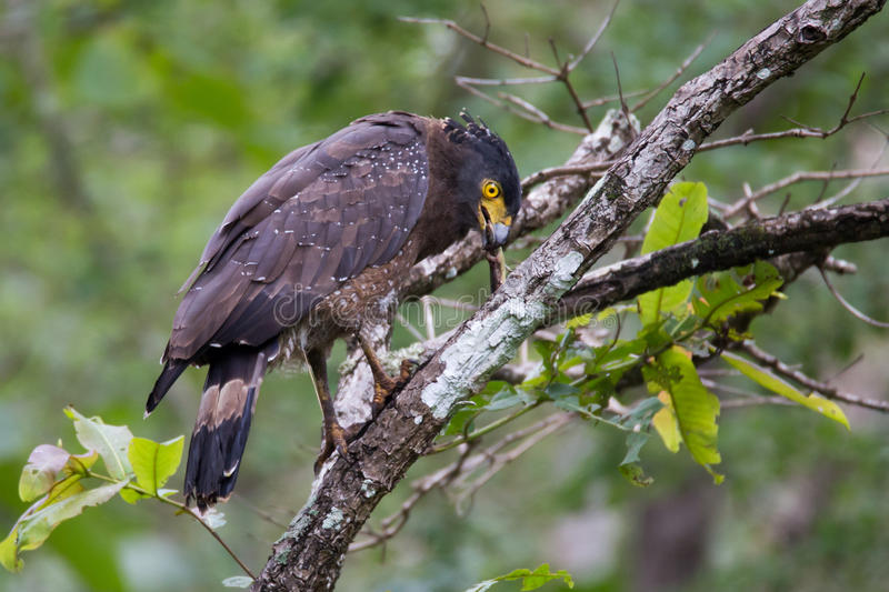 Serpent eagle with serpent. Crested serpent eagle with prey in its mouth. Canon 6D 550mm f6 1/400 ISO 1000 royalty free stock images