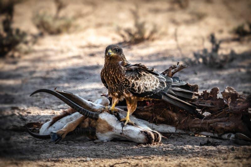 Serpent Eagle sur la carcasse de springbok photo libre de droits