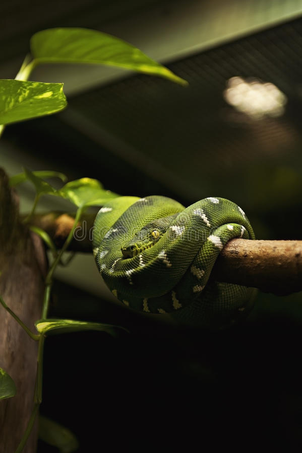 Serpent - Emerald Tree Boa (Corallus Caninus) photos stock