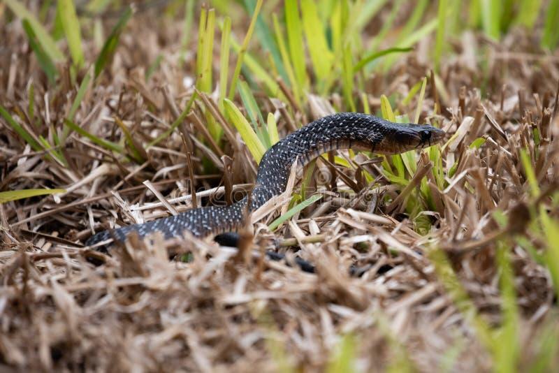 Serpent indigo du Texas photographie stock libre de droits