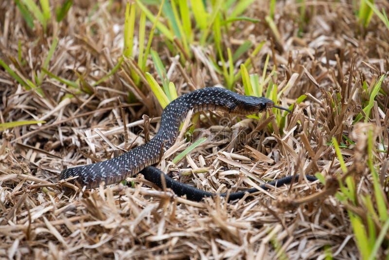 Serpent indigo du Texas photos libres de droits