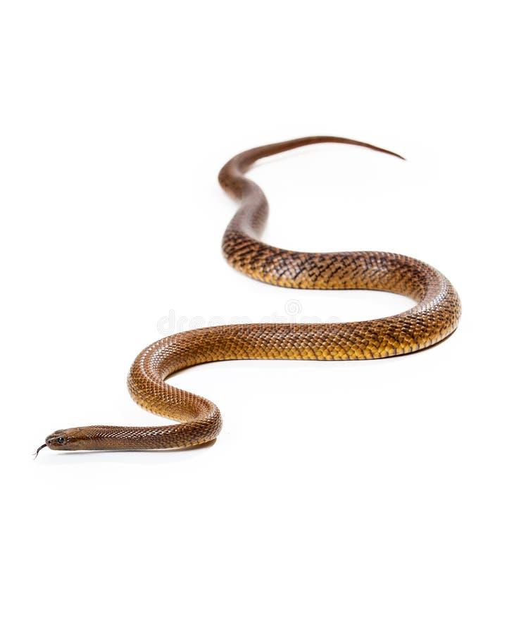 Serpent intérieur venimeux dangereux de Taipan photo libre de droits