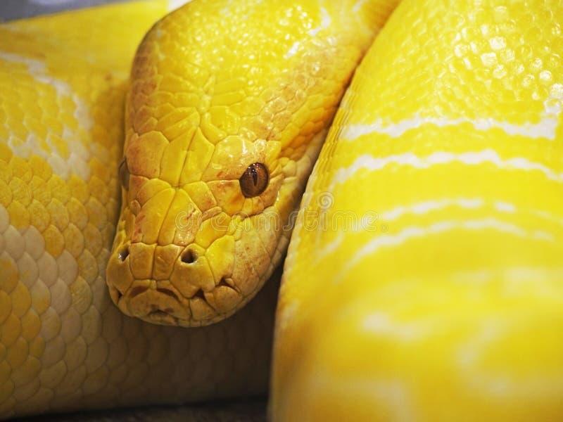 Serpent jaune images libres de droits