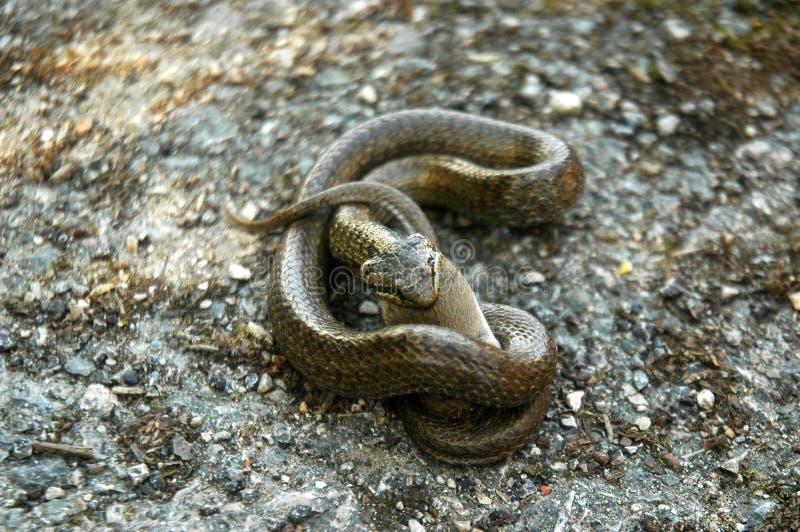 Serpent mangeant une souris photo libre de droits
