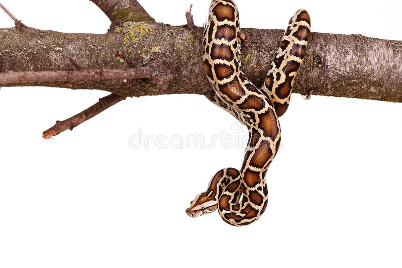 Serpent maure de boa de vipère de python royal sur une branche avec des fleurs d'isolement sur le blanc photos libres de droits
