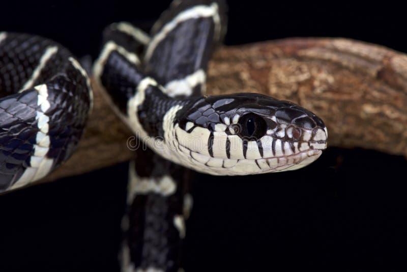 Serpent noir et blanc de palétuvier (dendrophila de Boiga) photos libres de droits