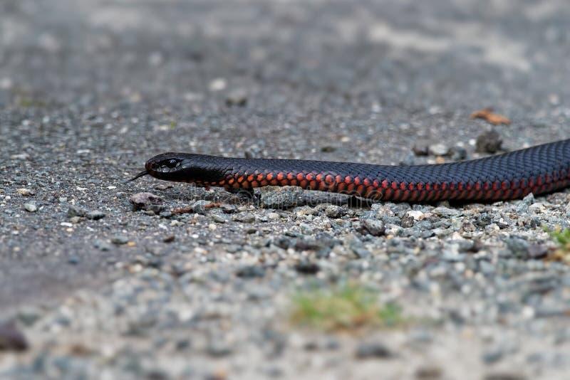 serpent noir Rouge-gonflé - espèces de porphyriacus de Pseudechis d'indigène de serpent d'elapid vers l'Australie orientale photos stock