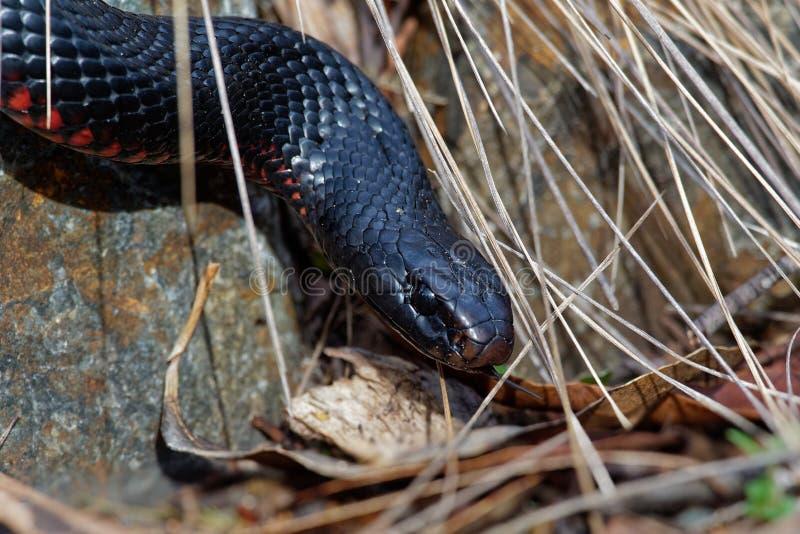 serpent noir Rouge-gonflé - espèces de porphyriacus de Pseudechis d'indigène de serpent d'elapid vers l'Australie orientale images libres de droits