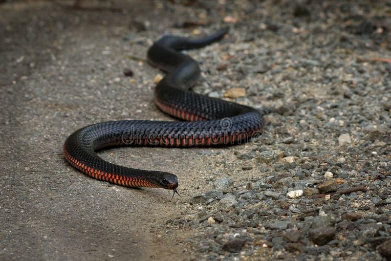 serpent noir Rouge-gonflé - espèces de porphyriacus de Pseudechis d'indigène de serpent d'elapid vers l'Australie orientale photos libres de droits
