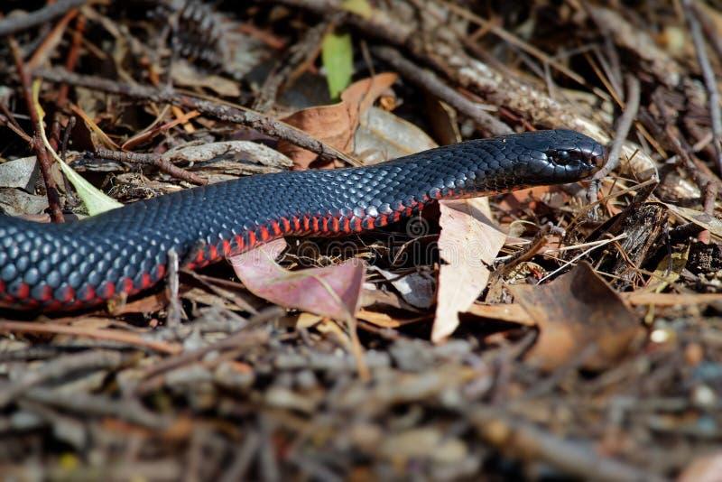 serpent noir Rouge-gonflé - espèces de porphyriacus de Pseudechis d'indigène de serpent d'elapid vers l'Australie orientale image stock