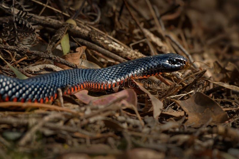 serpent noir Rouge-gonflé - espèces de porphyriacus de Pseudechis d'indigène de serpent d'elapid vers l'Australie orientale image libre de droits