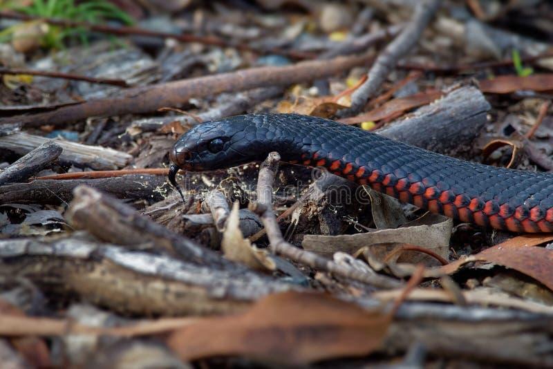 serpent noir Rouge-gonflé - espèces de porphyriacus de Pseudechis d'indigène de serpent d'elapid vers l'Australie orientale photo libre de droits