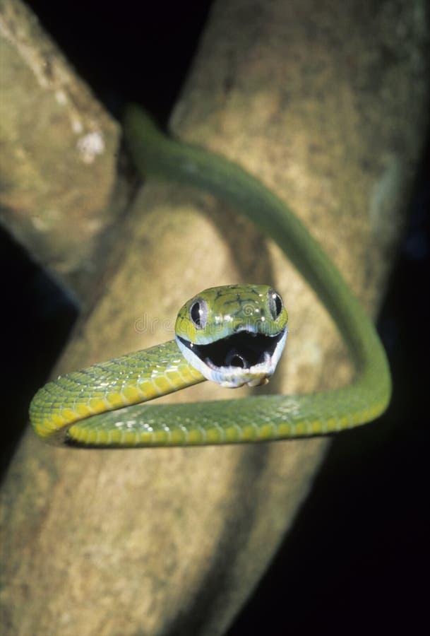 Serpent observé par chat vert photographie stock libre de droits