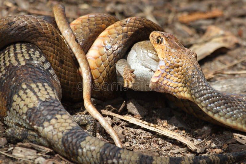 Serpent oriental de Brown contre le lézard de Bluetongue images libres de droits
