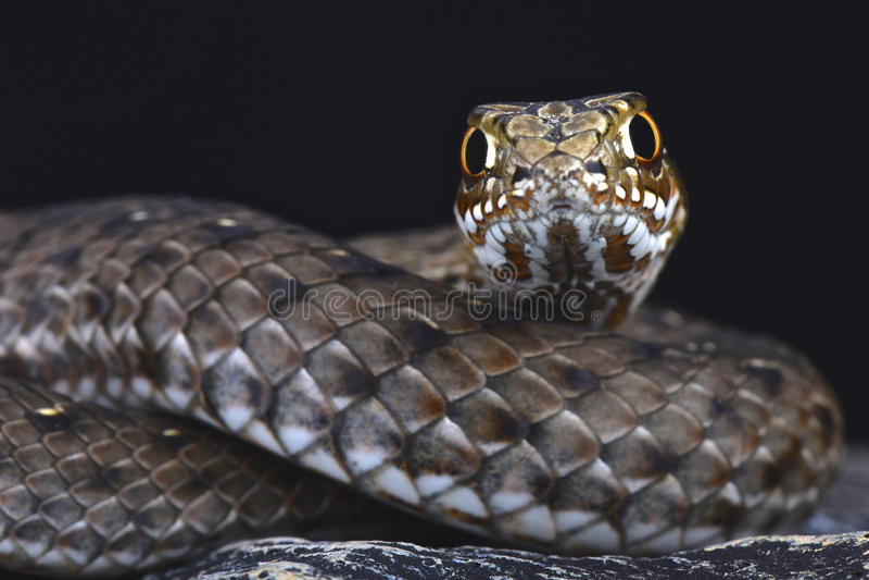 Serpent oriental de Montpellier (insignatus de Malpolon) images libres de droits