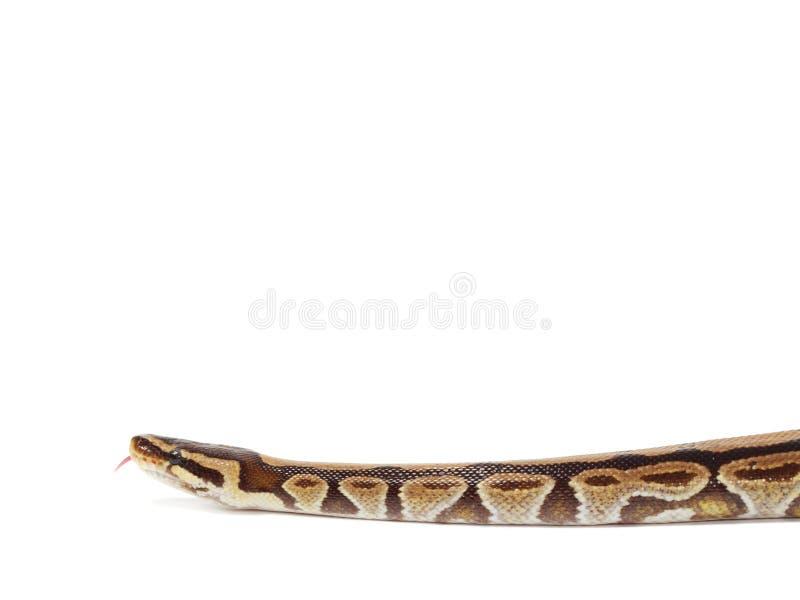 Serpent royal de python photographie stock libre de droits