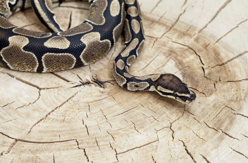 Serpent royal de python sur un tronçon images stock