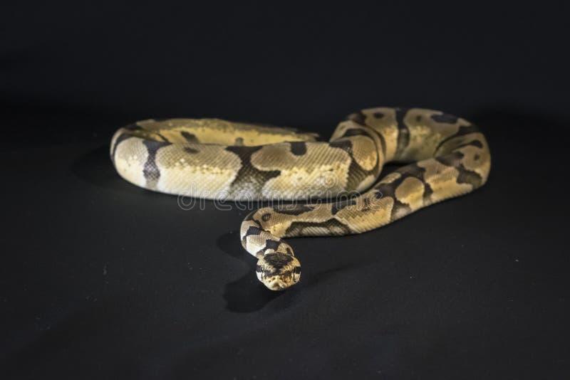 Serpent royal ou de boule de python photos libres de droits
