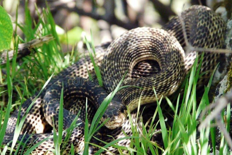 Serpent toxique photos libres de droits