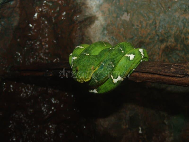 Serpent vert d'arbre photographie stock libre de droits