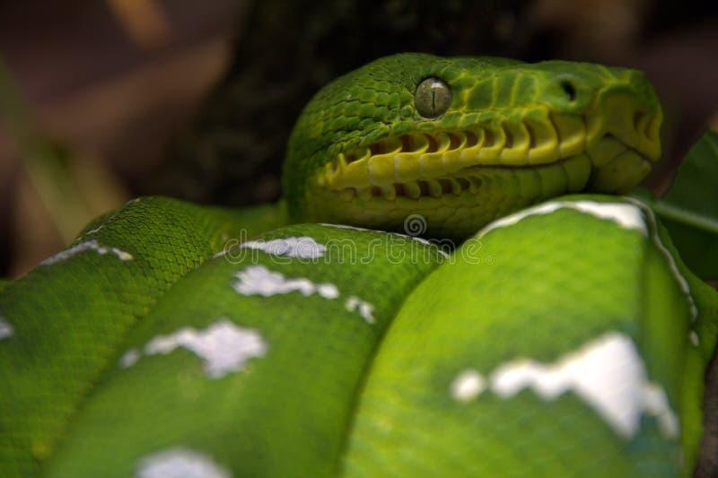 Serpent vert de boa d'arbre photos libres de droits
