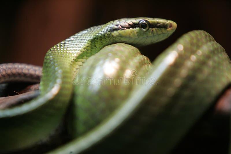 Serpent vert de chat image libre de droits