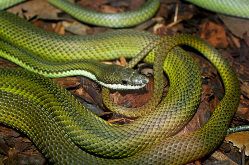 Serpent vert de l'Amérique du Sud, coureur de vert du ` s de baron, baroni de Philodryas photographie stock