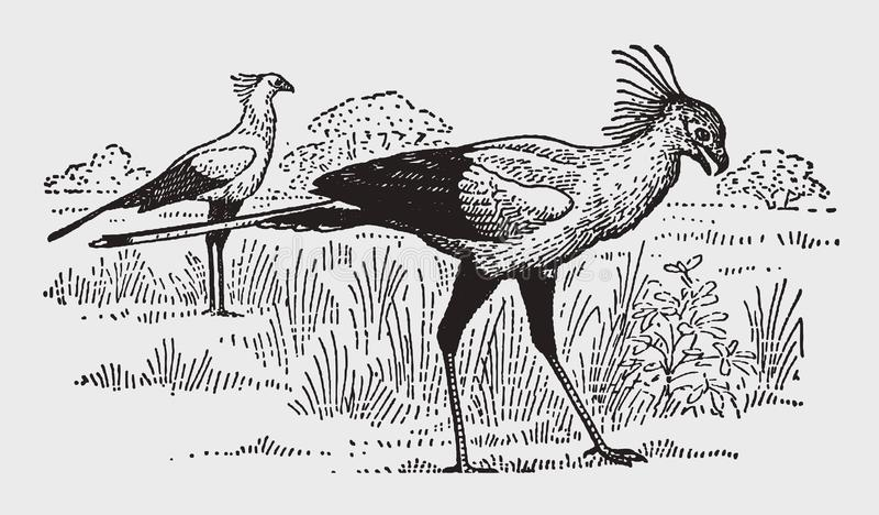 Serpentarius africain de Sagittaire de deux oiseaux de secrétaire marchant sur une prairie ouverte illustration de vecteur