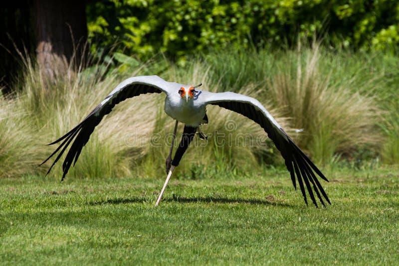 Serpentarius de Secretarybird ou de secretário Bird Sagittarius no fl fotografia de stock