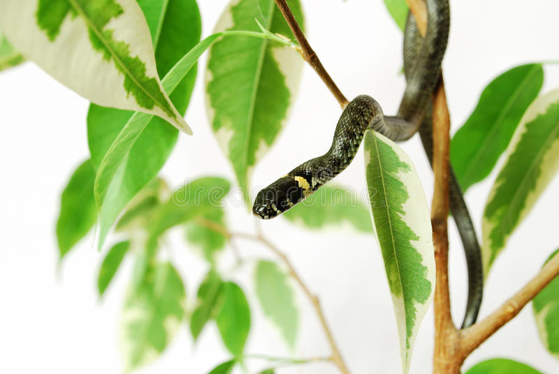 Serpente à árvore fotos de stock royalty free