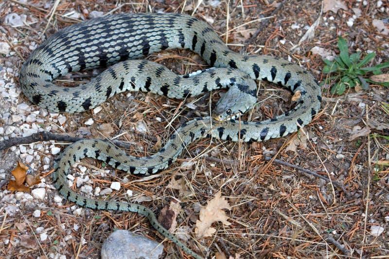 Serpente foto de stock royalty free