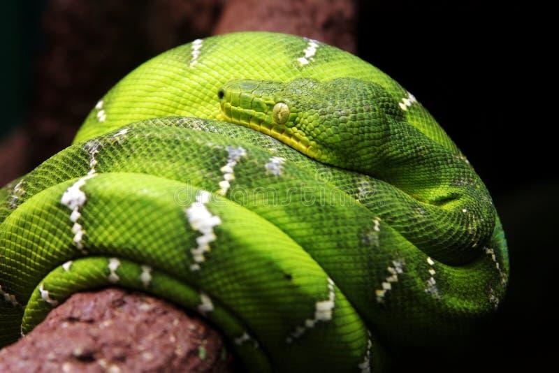 Serpente fotografia stock
