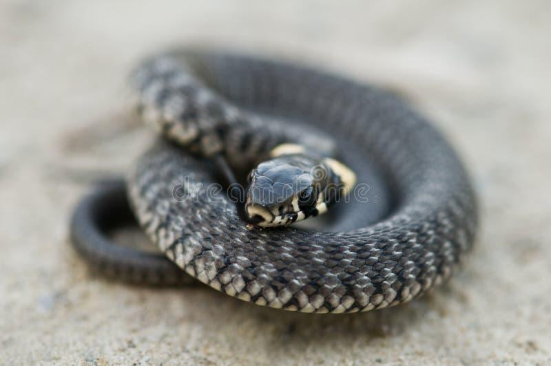 Serpente fotografia de stock royalty free