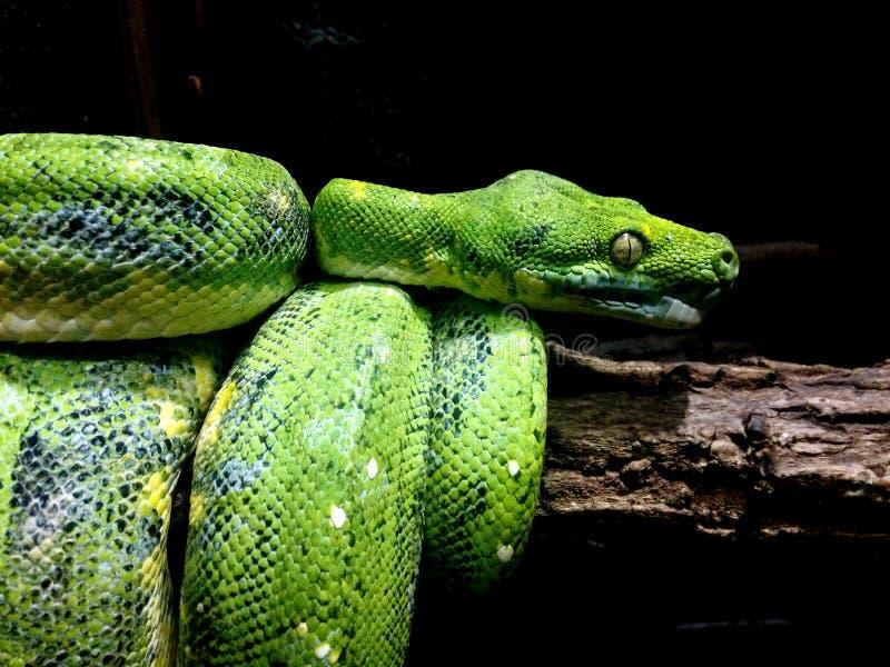 Download Serpente fotografia stock. Immagine di nave, occhio, verde - 55355196