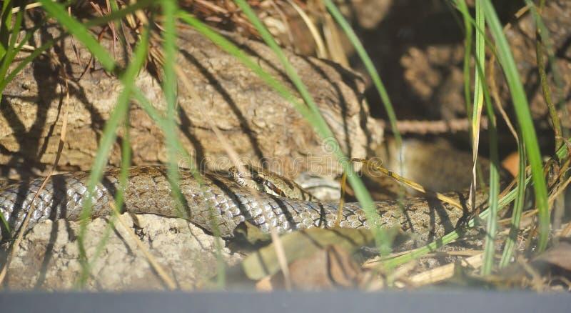 Serpente Aesculapian, o Zamenis longissimus immagini stock libere da diritti