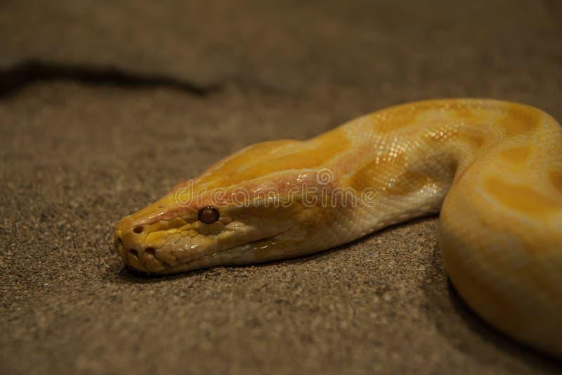 Serpente amarela que sneaking através da areia imagens de stock royalty free