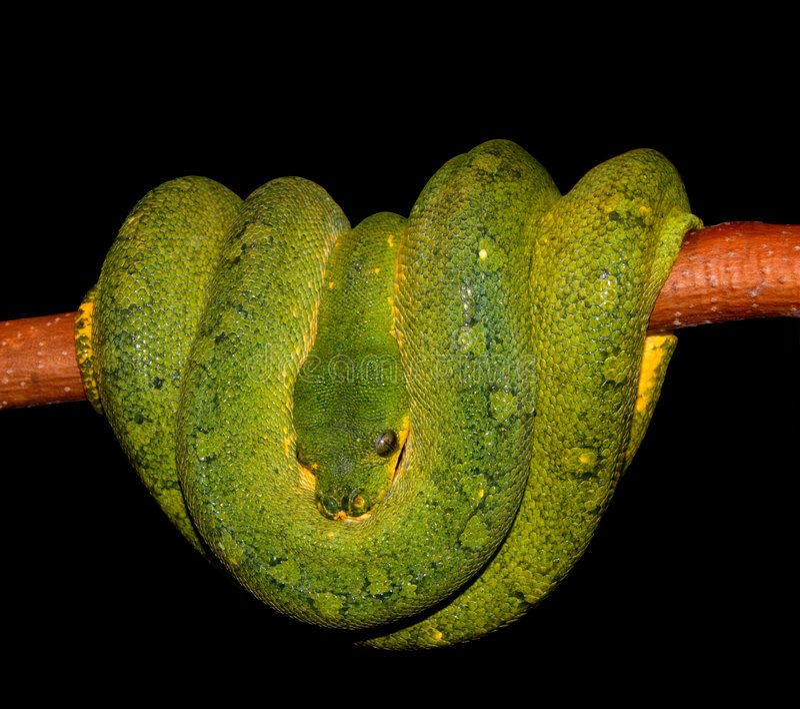 Serpente arrotolato di verde del pitone fotografia stock