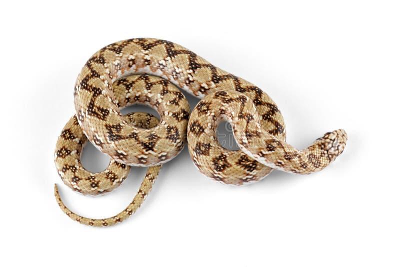 Serpente beaked nano fotografie stock