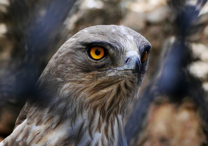 Serpente Breve piantato Eagle tramite il recinto immagine stock