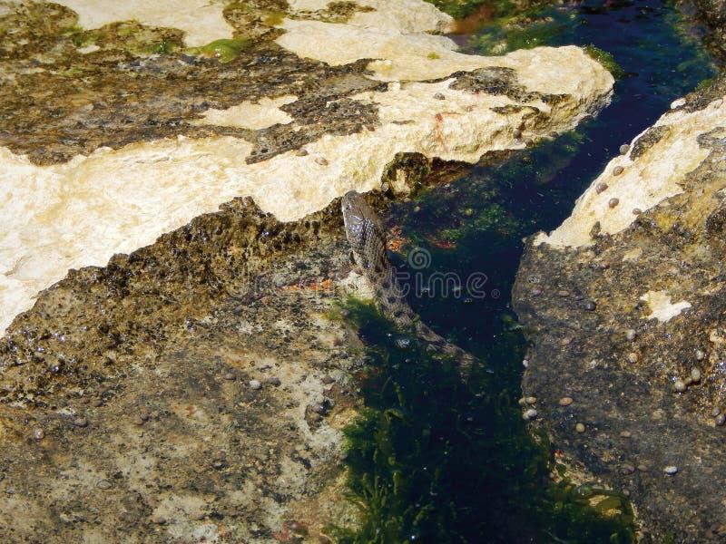 Serpente caspico in pietre fotografia stock libera da diritti