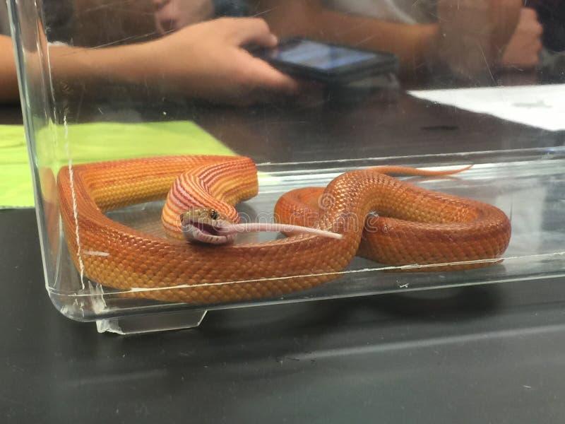 Serpente che mangia un mouse fotografie stock libere da diritti