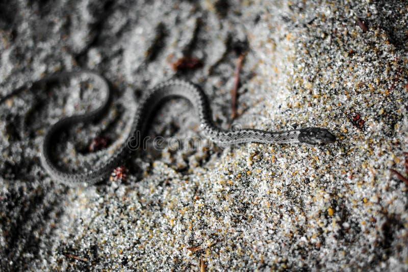 Serpente che passa la sabbia immagini stock libere da diritti