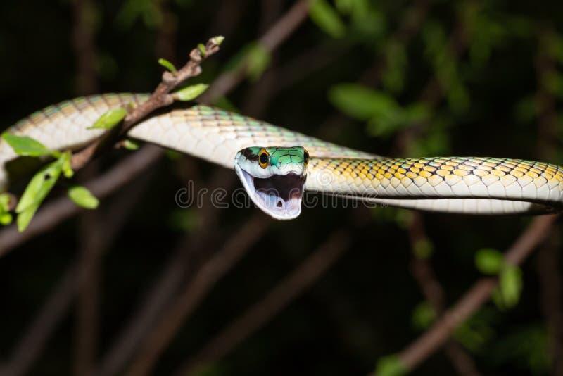 Serpente comum do papagaio na noite na árvore imagens de stock
