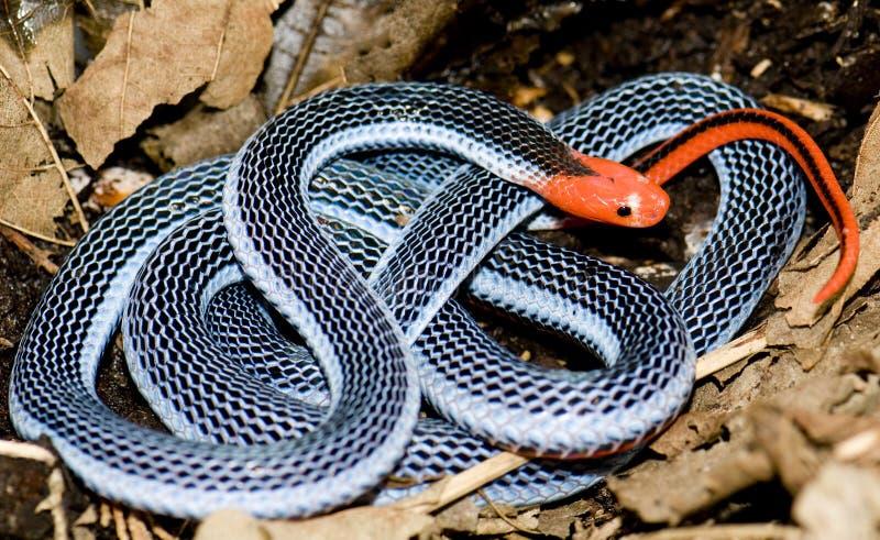Serpente coral azul imagem de stock