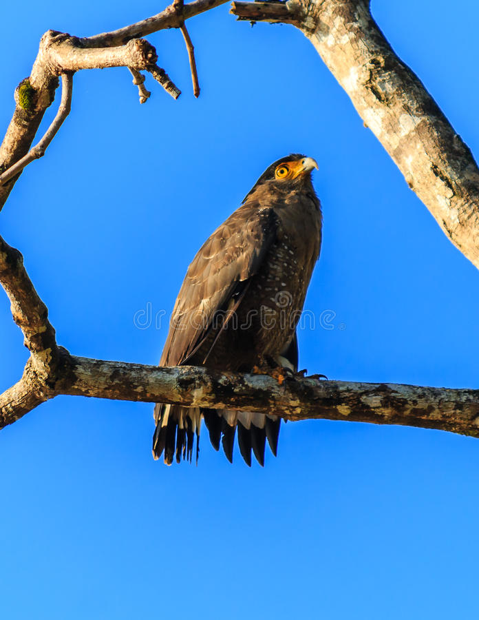 Serpente crestato Eagle su un ramo accanto al fiume immagine stock libera da diritti
