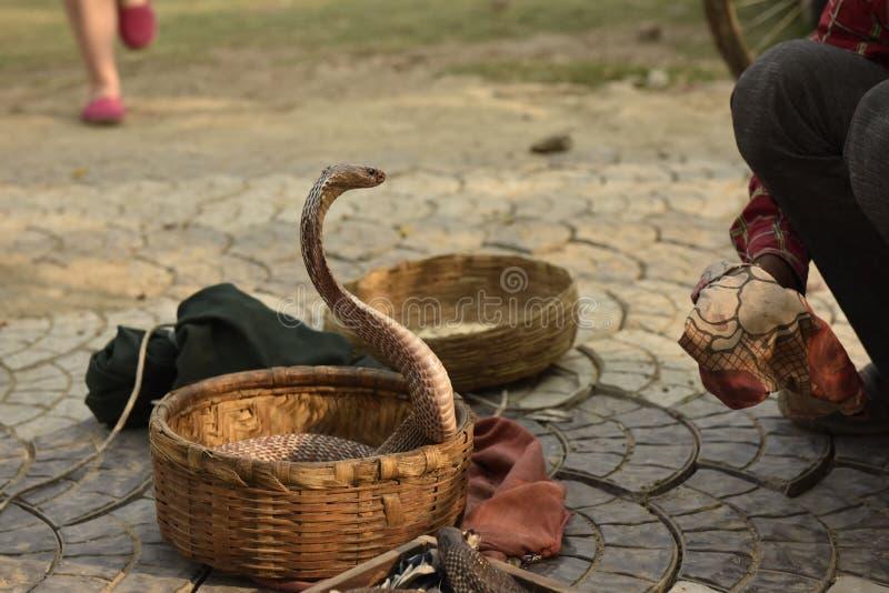Serpente da cobra imagens de stock royalty free