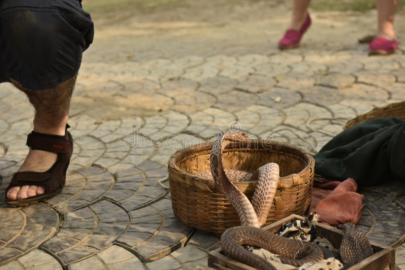 Serpente da cobra foto de stock