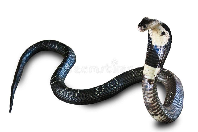 Serpente da cobra isolada na terra da parte traseira do branco foto de stock royalty free