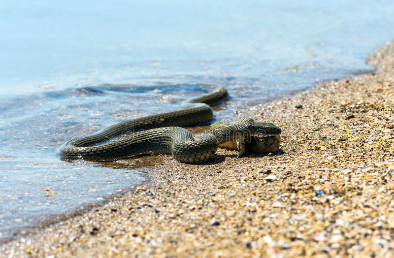 Serpente de água imagem de stock